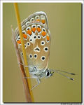 Title: For Jaap (Common Blue - female - )