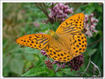 Title: Silver washed Fritillary - male -