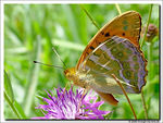 Title: Silver washed Fritillary