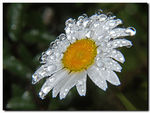 Title: Oxeye daisy