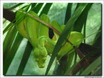Title: GREEN TREE PYTHON