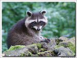 Title: Young Raccoon - female -