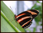 Title: Banded Orange HeliconianFujifilm Finepix S7000