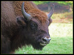 Title: Wisent female