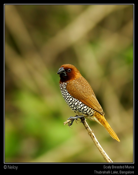 Scally Breasted Munia