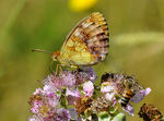 Title: Marbled Fritillary (Brenthis daphne)