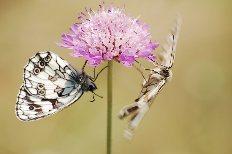Dancing Marbled White