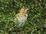 Title: Young SongThrush