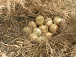 Title: pheasant eggs in hatching