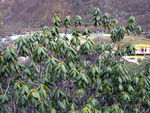 Title: rhododendron in altiplano 4000m