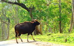 Title: Indian Bison( Gaur)