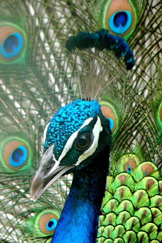 peacock information in english