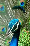 Title: Close up of a Peacock