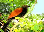 Title: Coucal