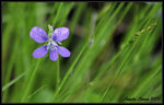 Title: Little Purple Wildflower