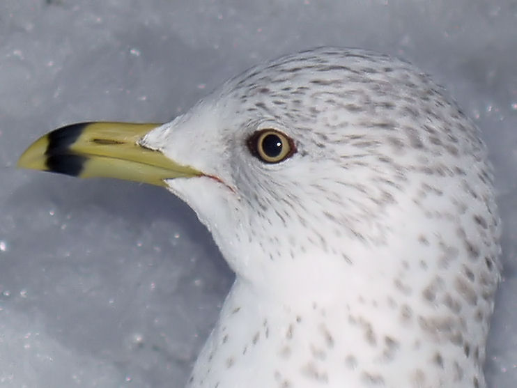 Ring-billed in the snow