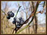 Title: Berries in winter