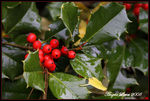 Title: Wet Holly
