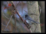 Title: Dark Eyed Junco