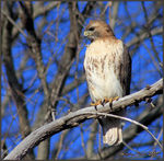 Title: Red_Tailed Hawk waiting