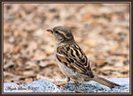 Title: Lady House Sparrow