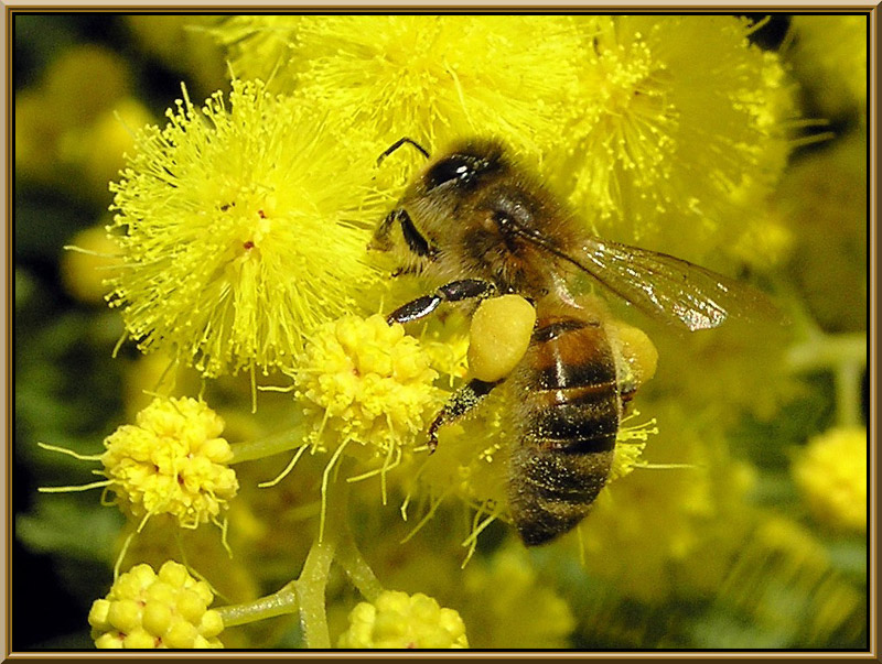 A bee on mimosa