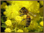 Title: A bee on mimosa