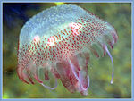 Title: Another jellyfish