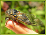 Title: Cicada on my finger