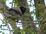 Title: Spectacled Bulbul