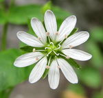 Title: Giant Chickweed