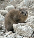 Title: Syrian Rock HyraxCanon PowerShot S5 IS