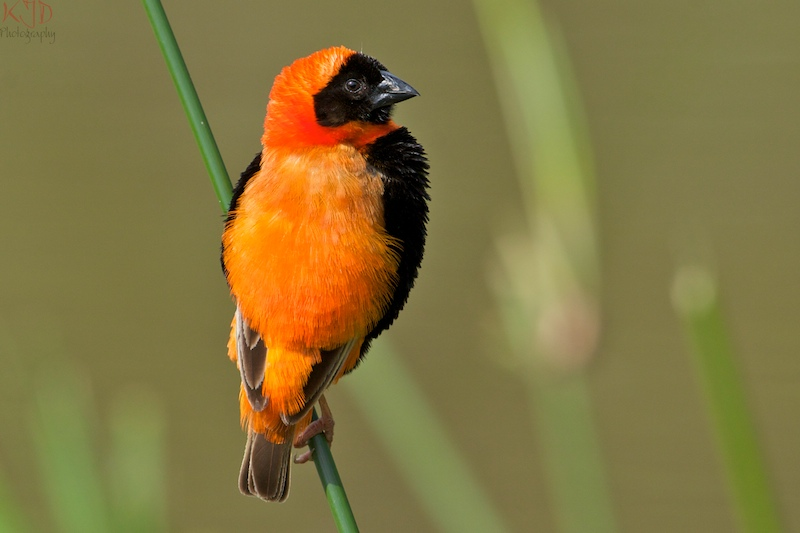 Red Bishop Showing Back & Tail Feathers