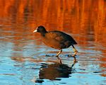 Title: Coot