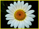 Title: Anthemis coelopoda Boiss.