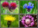 Title: Different Centaurea Flowers