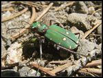 Title: Green Tiger Beetle