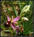 Title: Ophrys biscutella