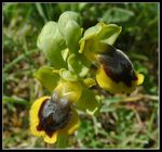 Title: Yellow Bee Orchid