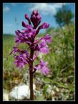 Title: Four-spotted Orchid
