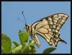 Title: Swallowtail Camera: Canon PowerShot S2 IS