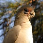 Title: Little corella