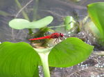 Title: Red Dragonfly