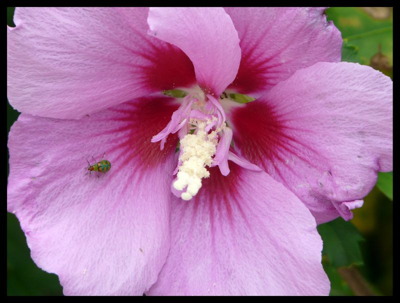 Hibiscus with host