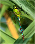 Title: Anax imperator female