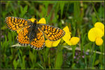 Title: Euphydryas aurinia provincialis