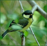 Title: Parus major juvenile