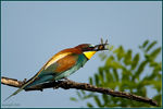 Title: Merops apiaster