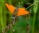 Title: Lycaena dispar male