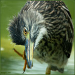 Title: Nycticorax nycticorax young